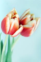 tulipe rouge avec son reflet naturel