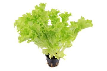 Lettuce growing in a pot.
