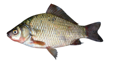 crucian carp fish isolated on a white background