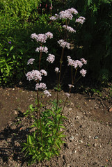 Valeriana officinalis in bloom