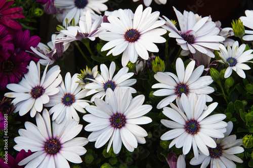 daisies from the florist for sale