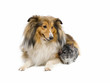 Shetland sheepdog and  chinchilla