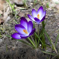 first crocus flowers
