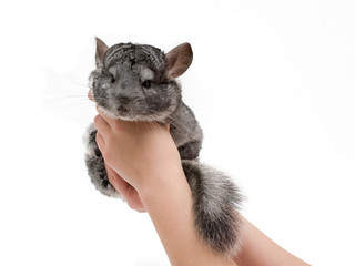 chinchilla sitting in the hands of the girl