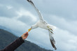 seagull taking food from hand