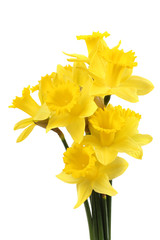 narcissus bouquet isolated on white
