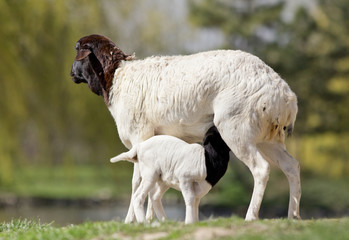 Blackhead persian sheep