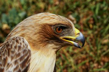 Águila calzada, Hieraaetus pennatus,
