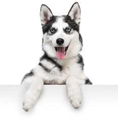 husky dog portrait above white