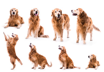 photo collage golden retriever