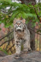 Bobcat Kitten (Lynx rufus) Looks Up from Atop Log