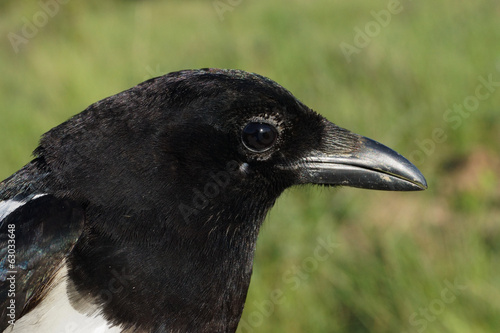 Common Magpie, Pica pica