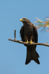 Black Kite (Milvus migrans) perched on a branch