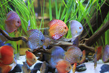 symphysodon discus in a tank with aquatic plants - 63034466