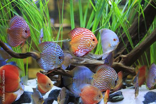 Fototapeta symphysodon discus in a tank with aquatic plants