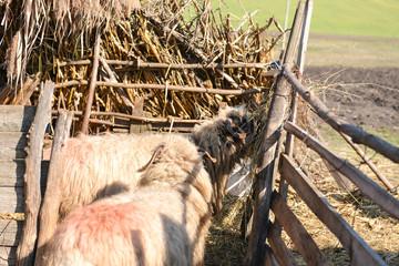 Sheeps eating hay inside a sheep farm at an agricultural farm
