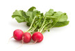 radish isolated