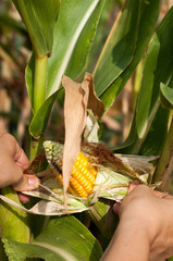 peasant is harvesting a damaged corncobs, manual labour