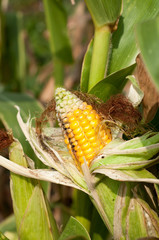 Corn field damaged by severe, extended drought and diseases of p