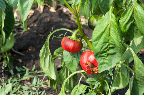 Little and rotten peppers damaged and  by the drought and illnes
