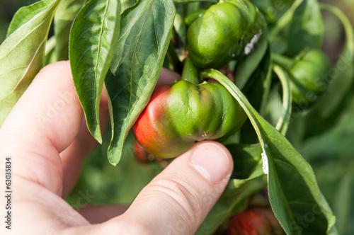 Farmer holding in hand a little and rotten peppers damaged and