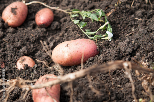 fresh and raw potato on a field, freshly dug. concept of healthy