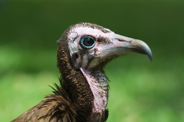 Very detailed head-shot of a young Hooded Vulture