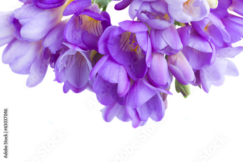 blue freesias flowers  border