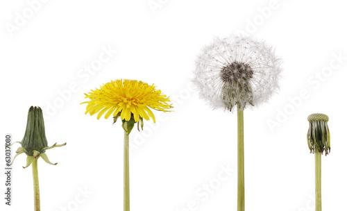 Dandelion Sinn des Lebens