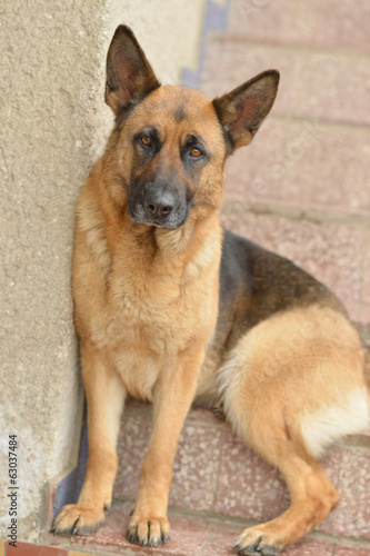 German shepherd security