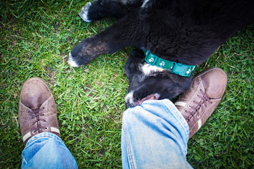 Young black dog tugging men´s jeans.