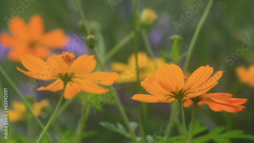 Cosmos flowers in the wind, HD.