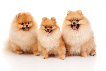 Three Pomeranian Spitzes