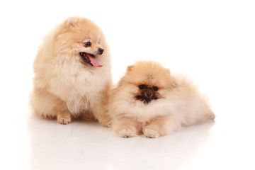 Two Pomeranian Spitz on the white background
