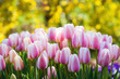 Pink white tulips in bloom, yellow bokeh background