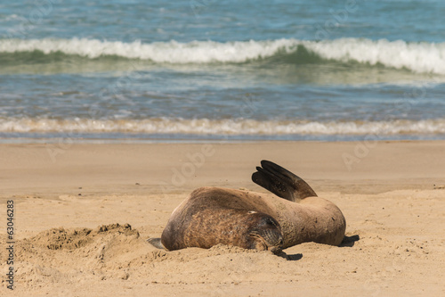 sea lion resting on sandy beach