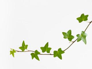 緑の蔦の葉