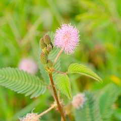Mimosa pucida (sleeping grass)