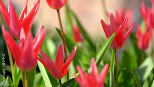 Red tulips in warm spring day
