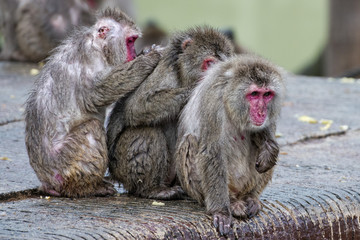 japanese macaque group monkey portrait at the zoo