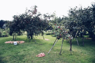 harvesting apples in an orchard