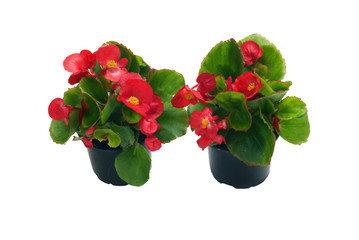 Begonia semperflorens in a pot on a white background