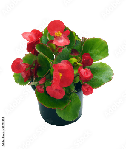 Begonia in a pot on a white background
