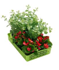 Begonia semperflorens, helichrysum in a basket