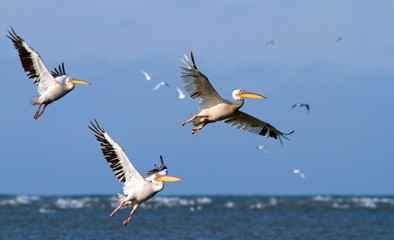 great pelicans taking off from sea surface