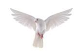Fototapety flying dove