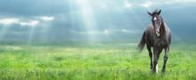 "Постер, картина, фотообои ""running black horse Warmblood at morning field, banner"""