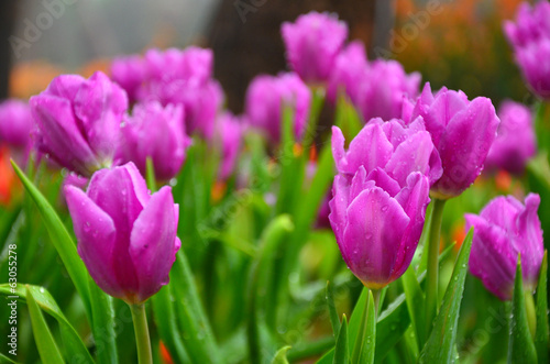 Purple Tulips in Garden