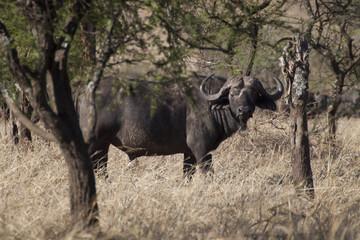 Búfalo tanteando al observador