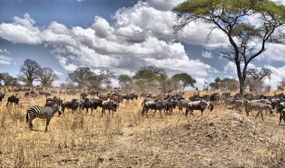 La gran migración de ñues y cebras en Tanzania